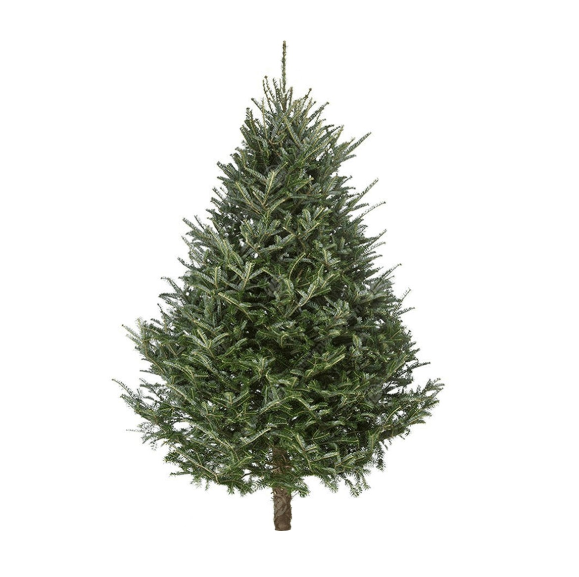 Fraser Fir Christmas Tree - 150-175cm