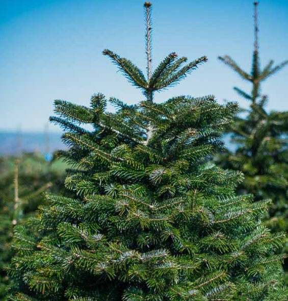 """Nordman Fir Christmas Tree - 150-175cm - <p style=""""margin-top: 0cm;""""><span style=""""font-family: 'Calibri',sans-serif;"""">The Nordmann Fir Christmas tree has become the most popular Christmas tree in the UK. With its strong bushy branches, symmetrical shape and beautiful foliage it appeals to many households looking for a tree that is easy to decorate and a tree that has excellent needle retention. It's an ideal family Christmas tree.</span></p> <p style=""""margin-top: 0cm;""""><b></b><span style=""""font-family: 'Calibri',sans-serif;"""">The great thing about shopping online is that you get your tree delivered to your door, whatever the size. We take great care in packing and shipping your tree so you it gets to your home fast and safe. We deliver anywhere in the Vale of Glamorgan, Bridgend and Cardiff.</span></p>"""