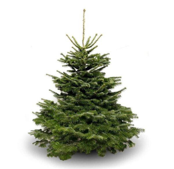 Nordman Fir Christmas Tree - 150-175cm