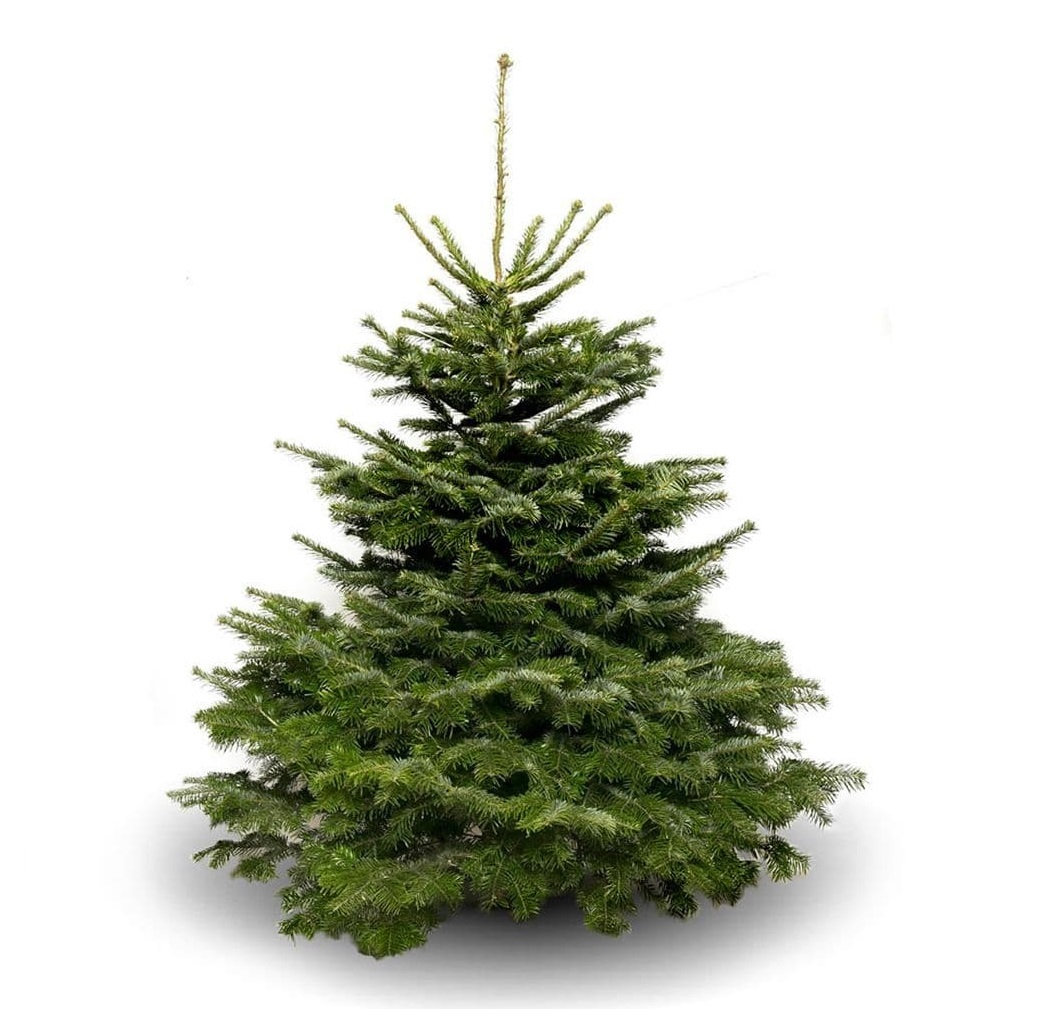 Nordman Fir Christmas Tree - 150-175cm